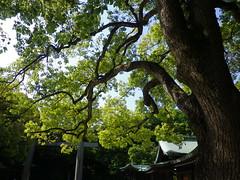 Tokyo Urban Landscapes #80 (tt64jp) Tags: city urban japan landscape japanese tokyo shrine capital religion shibuya sacred  metropolis  spiritual  japon sanctuary   urbanlandscape tokio meijijingushrine sacredtree     shintoism camphor