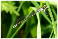 Azure Damselfly. (vegetus aer) Tags: damselfly cambridgeshire wildlifetrust woodwaltonfen nnr greatfen greatfenproject bcnwildlifetrust
