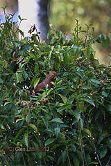 Brown Fruitdove (GlenLittle2) Tags: forestry threatenedspecies rainforestbirds conservationstatus