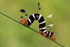 Rhanidophora sp (zimbart) Tags: africa insects lepidoptera noctuidae caterpillars mozambique cheringoma rhanidophora