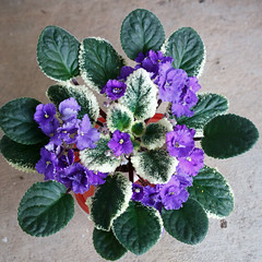 Buckeye Sentimental Reasons (khufram) Tags: other africanviolet buckeyesentimentalreasons