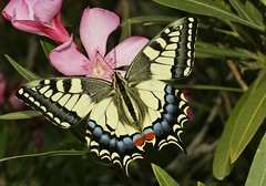 Papilio machacón (alcedofoto.) Tags: