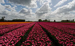 Sunbathing (Brett Ritzmann) Tags: holland netherlands clouds colorful tulips 28mm tulip dramaticsky niederlande tulipfields northholland northernholland nikonflickraward flickrunitedaward may2013 afs28mmnikkorf18g