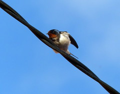 Swallow (Tom Kennedy1) Tags: swallow hirundorustica irishwildlife