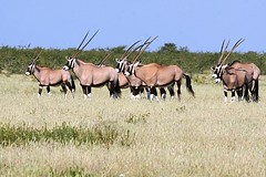 Etosha National Park, Namibia (Paul A Thomas) Tags: mammals namibia gemsbok eventoedungulates etoshanationalpark afrotropical