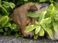Sheltie puppy (K9wolfje) Tags: dog dogs puppy nest sheltie sheepdog sienna canine litter perro hund pup chiot shetland rohan k9 shetlandsheepdog shelties sheepdogs welpe chiots dogue herdershond cachoro voske youngdog oeussant hjaltesskerlad cachorots britseherdershond skerlad