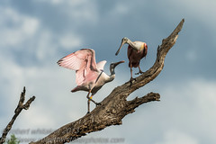 Roseate Spoonbill (robert whitaker photos') Tags: alligatorfarmstaugustine birds places roseatespoonbill wildlife