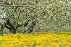 (Fransois) Tags: yellow jaune spring poem dof haiku bokeh québec printemps dandelions pommiers blooming appletrees pissenlits poème floraison stjosephdulac