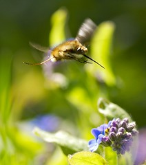 bee fly (sharp capture) Tags: uk england flower nature animals speed insect geotagged fun photography photo spring nikon photos wildlife speedy hertfordshire hover beefly bombyliusmajor tokina100mmf28atxprod