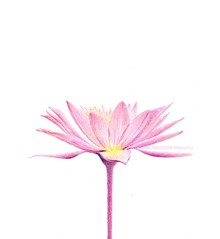 2013_05_06_waterlily_03_s (blue_belta) Tags: pink flower art sketch waterlily lotus drawing coloredpencil     darawing