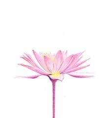2013_05_06_waterlily_03_s (blue_belta) Tags: pink flower art sketch waterlily lotus drawing coloredpencil     darawing