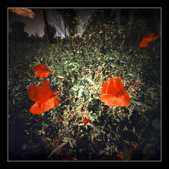 Poppies day (2013) # 2 (Roberto Messina photography) Tags: film xpro pinhole filter expired sephia zero2000 velvia50