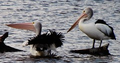 Does This Make My Backside Look Fat? (florahaggis) Tags: pelicans birds australia victoria horsham pc3400 waterriver wimmerariver