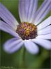 Whispers (dorothylee) Tags: flowers flower macro nature floral closeup garden botanical spring lavender springtime pericallissenetti
