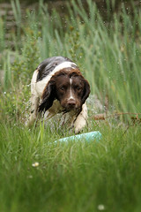 Gundogs at Pond Meadow (jane currie) Tags: dog wet reeds pond gun working meadow spaniel dummy retrieve gundogs