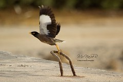 (Naser__salem) Tags: bird birds kuwait  q8         q8birds  q8photographers  uploaded:by=flickrmobile flickriosapp:filter=nofilter naseralhamed  q8birdsphotographers