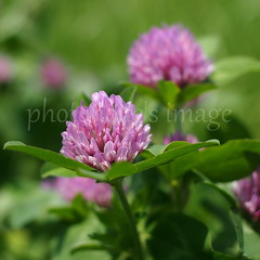 red clover (photoholic image) Tags: sunlight plant flower leaf weed bokeh clover earlysummer redclover oldlens ainikkor35mmf2 micro43 microfourthirds olympuspenep3 ainikkor35mmf20