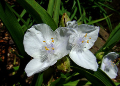 Spiderwort Flowers - White (ceropegia) Tags: white flower spiderwort tradescantia