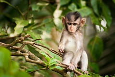 baby monkey (raspberrytart) Tags: bali animal indonesia temple monkey nikon primate macaque monkeyforest longtailed d90 abiansemal