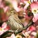 Sparrow...err House Finch in Paradise