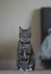 Tigger is a Poser. (Micheal Evans) Tags: portrait cute beautiful animal cat fur poser nikon feline bokeh f14 85mm tigger samyang d7000