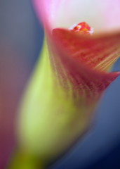 Calla lily (sasithorn_s) Tags: friends plant flower macro nature potofgold thegalaxy betterthangood goldstaraward mygearandme blinkagain caiialily