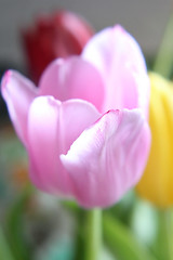 Tulips (Jamie-Owens) Tags:
