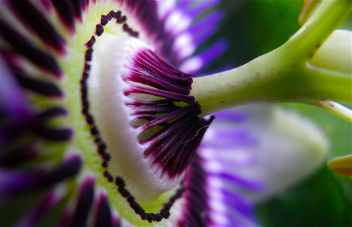 Passion flower detail