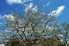 cerisier (domiloui) Tags: nature jardin lumiere lorraine campagne couleur cooliris nomeny abaucourt