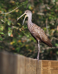 Limpkin (R.Cornelius) Tags: birds tongue yawn limpkin lettucelakepark hillsboroughcounty