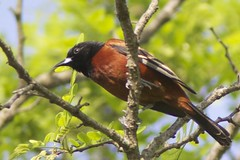 Male orchard oriole (Henry McLin) Tags: