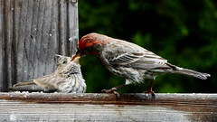 May22,2013f 047 House Finch male adult feeding fledgling (terrygray) Tags: housefinch