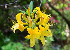 Yellow Azalea (There and back again) Tags: flower yellow somerset azalea greencombegardens
