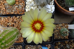 006 (_Biess) Tags: cactus astrophytum asterias superkabuto