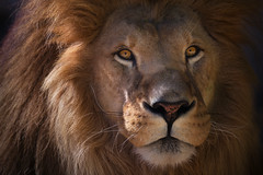 The King (Billy Currie) Tags: africa sunshine flesh cat tooth fur mammal nose big paw eyes feline king teeth hunting lion canine pride meat whiskers pack claw stare strong hunter strength predator roar lioness mane carnivore