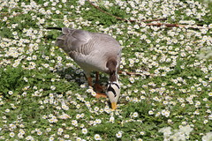 Bar Headed Goose (Munki Munki) Tags: nature birds daisies washington pretty conservation waterfowl northeast barheadedgoose washingtonwetlandcentre