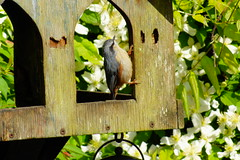 The Nuthatch (peterdouglas1) Tags: nuthatch gardenbirds