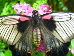 Papilio lowi (Linda DV (back and catching up)) Tags: geotagged canon flower nature tenerife canaryislands canarias tenerife2011 icod mariposario butterfly insect nymphalidae mariposariodeldrago lindadevolder lepidoptera brushfootedbutterflies powershots5is papiliolowi