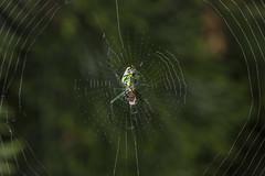 Spider eating series 27 (Richard Ricciardi) Tags: spider eating web spinne araa  araigne ragno timeseries     gagamba    nhn  spidertimeseries