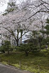 Parco Kenroku-en - Kanazawa (liviob) Tags: asia cherryblossom viaggio giappone kanazawa hanami fiorituradeiciliegi