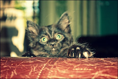 Kitty's got claws (K. Sawyer Photography) Tags: black kitten furniture destruction marks couch foster tiny tear claws a1671661