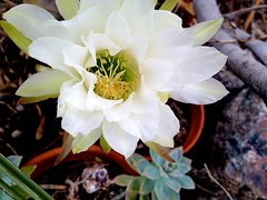 Today's New Cactus Flower Open and Getting Ready To Close-3 (chicbee04) Tags: photostream