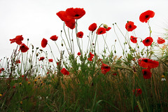 Looking Up (www.damientaylor.co.uk) Tags: flowers england sky plants white eye up field landscape photography looking view image background yorkshire north nobody seeds poppy poppies worms papaver rhoeas