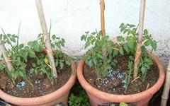 Coltivare pomodori sul balcone: non servono grandi vasi (giardinaggio) Tags: pomodori vaso coltivare