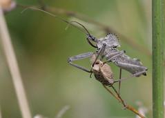 Wheel Bug on the Appalachian Trail, lifer [Explored #2] (Tombo Pixels) Tags: wheel bug newjersey nj explore vernon appalachiantrail assassin lifer wheelbug ariluscri