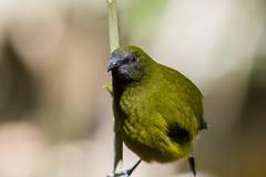 Korimako - Close Focus (Slightly Pear Shaped) Tags: green birds native feathers endemic aotearoa songbird 400mm passerine anthornismelanura korimako canonef100400mmlisusm makomako eos550d