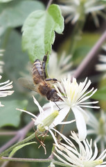 Bee (Predrag erkovi) Tags: plants flower macro leaf petals bee honey nectar
