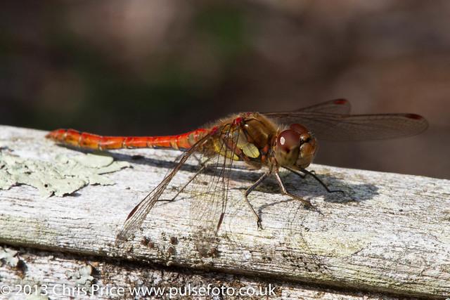 Dragonfly at Sheffield Park