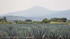 Guadalajara-Tequila-2013-LR-4725 (alison.toon) Tags: blue copyright leaves landscape mexico scenery farm harvest guadalajara jalisco tequila rows plantation growing agave technique pruning josecuervo cuervo tequilatour alisontoon alisontooncom alisontoonphotographer