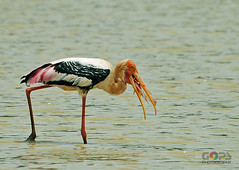 TODAY'S CATCH (GOPAN G. NAIR [ GOPS Photography ]) Tags: fish birds photography bangalore catch migratory karnataka stork gops gopan gopsorg gopangnair gopsphotography